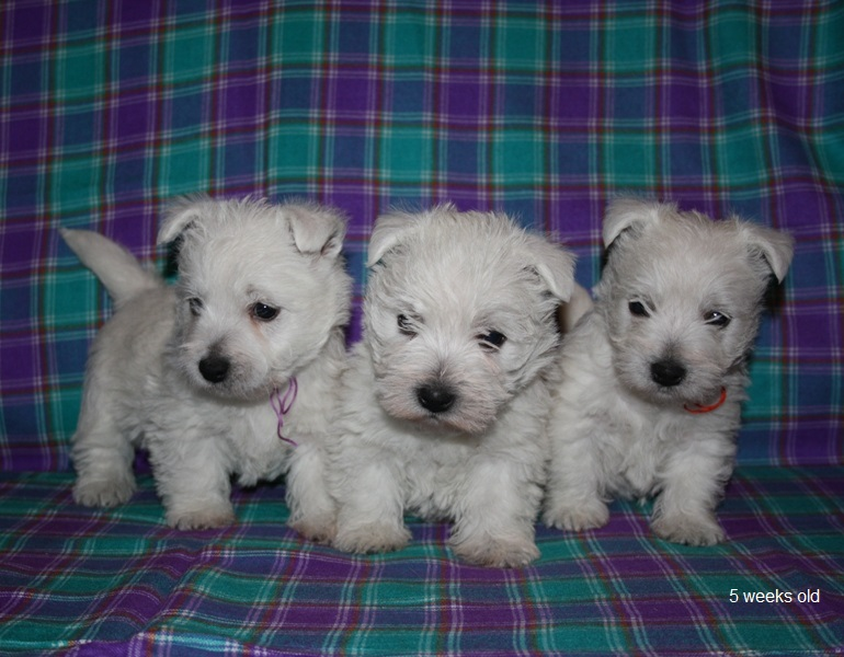 westie puppies litter U