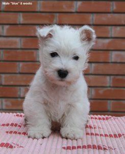 westie male puppy