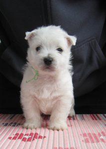 westie female puppy
