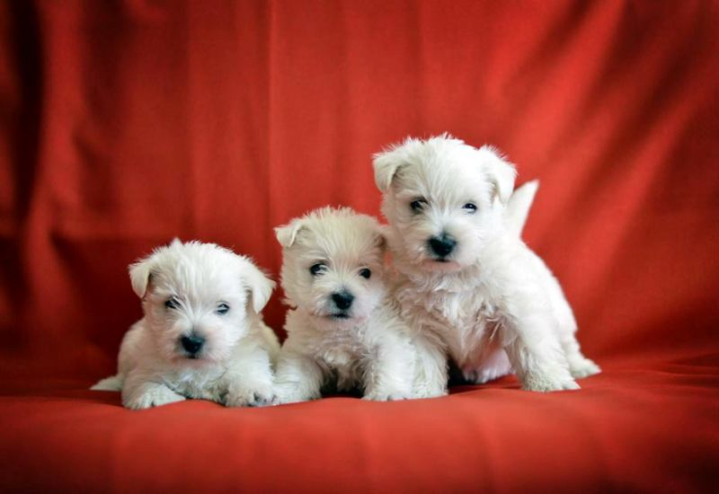 westie puppies lit v