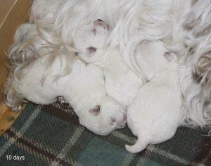 westie puppies litter U