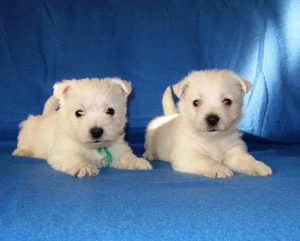 Westie male puppies