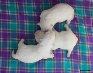 westie puppies litter T