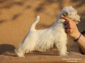 westie female puppy