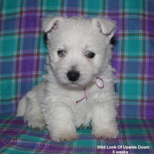 westie female puppie
