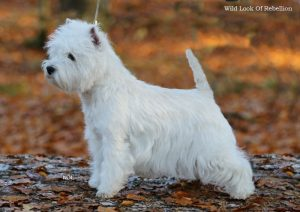 westie female champion