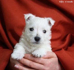 westie puppy elfie