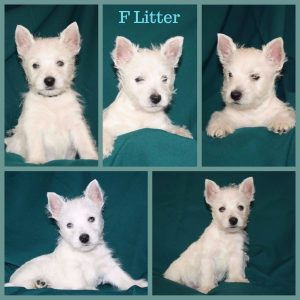 Westie puppies F litter