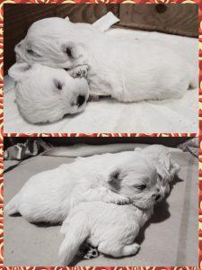 westie puppy wilma