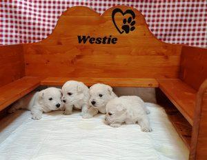 Pui westie Wilma
