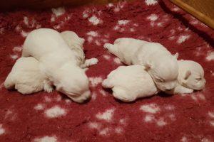 westie puppies Wilma