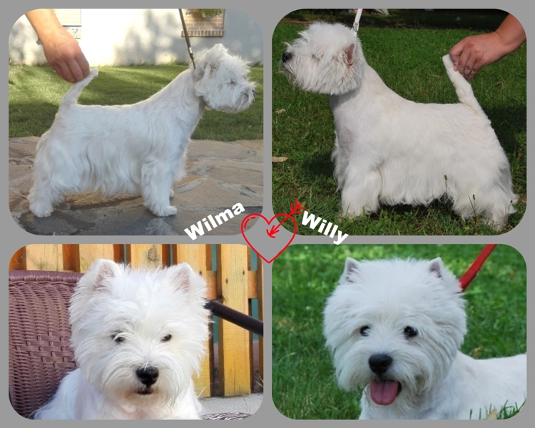 westie puppies i litter