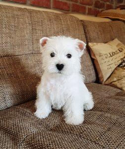 Westie puppy Iris