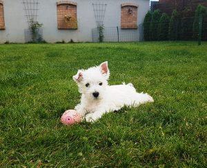Westie puppy Rafa