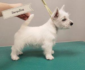 Hera westie puppy