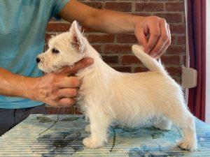 Lucky Star westie puppy